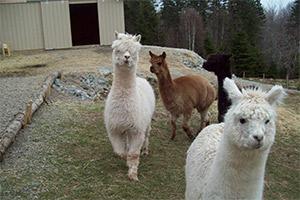 Visit to the Alpaca Farm